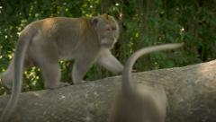 A large bully monkey walks by smaller monkeys as they get out of the way in Ubud Stock Footage