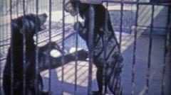 1973: Black Bears wrestling looking like humans in bear suits. - stock footage