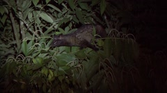 Common Palm Civet looking for food in tree at night Stock Footage