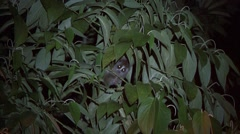Greater Slow Loris hidden behind leafs looking around  Stock Footage