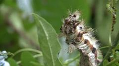Hairy Caterpillar closeup Stock Footage