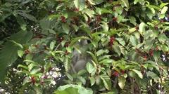 White-thighed Surili feeding on fruits Stock Footage