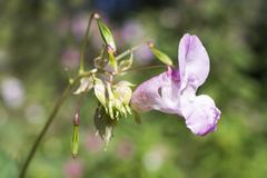 Impatiens glandulifera in bloom. - stock photo