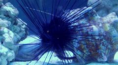 Diadema setosum. Hatpin urchin. Stock Footage