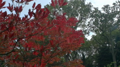 Contrast Between Red and Green Tree Leaves - 29,97FPS NTSC Stock Footage