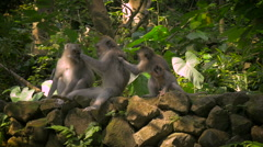 A line of monkeys in the Monkey Forest in Ubud are grooming each other Stock Footage
