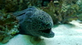 Blackspotted Moray. Gymnothorax favagineus HD Footage