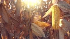 Corn ear on husk - stock footage