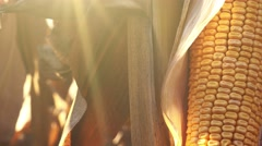 Corn ear on husk in cultivated field - stock footage
