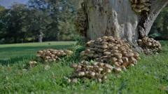 Honey Fungus Mushrooms under Park Tree - 25FPS PAL Stock Footage