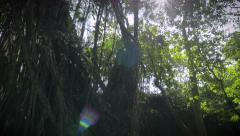 Liana tree roots in the jungle and the thick canopy of the forest with sun flare Stock Footage