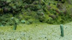 Heteroconger hassi. Spotted garden-eels 2 Stock Footage