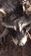 Raccoon wildlife in trap close on face vertical HD Stock Footage