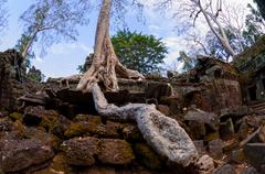 Tree with roots sitting on stone temple Ta Prohm - stock photo
