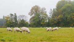 British Countryside - Sheeps in a Meadow Time Lapse Stock Footage