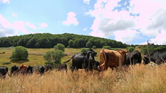 Close view of a herd of cows grazing in the mountain field in Cows Stock Footage