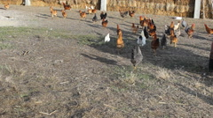 Chicken  outside Farm Agriculture Field in the Vojvodina,Serbia - stock footage