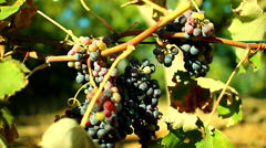 Grape vine growing in the sun Stock Footage