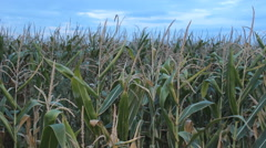 Corn field Agriculture Field in the Vojvodina,Serbia Stock Footage
