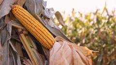Corn in the stash ,Corn Field  Stock Footage