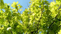 View of the crowns of maple trees - close up - windy sunny day Stock Footage