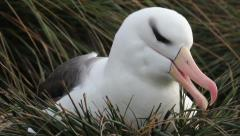 Albatross black browed Stock Footage