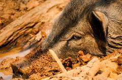 Head of Wild Boar in Mud Kuvituskuvat
