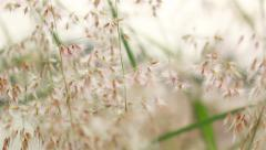 Closeup shot of Grass flowers in the wind, Two shot Stock Footage