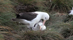 Albatross black browed courtship Stock Footage