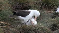 Stock Video Footage of Albatross black browed courtship