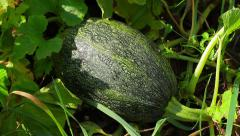 Zucchini growing in the garden. Stock Footage