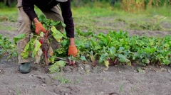 Stock Video Footage of Agronomist harvests. Harvest beet.