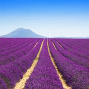 Lavender flower blooming fields endless rows. Valensole provence Stock Photos
