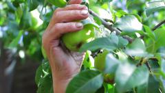 Grandfather pluck pear in his garden. Stock Footage