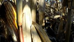 View from within a cornfield / maize farm field in autumn morning with lensflare Stock Footage