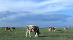 Cows on pasture meadow  Stock Footage