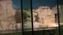Stock Video Footage of Polar bear in captivity playing