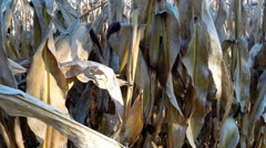Walking closely past cornfield / maize field in autumn before harvest Stock Footage