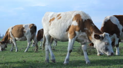 Cows grazing on pasture meadow  Stock Footage