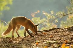 Sniffing red fox in beauty autumn backlight from side view - stock photo