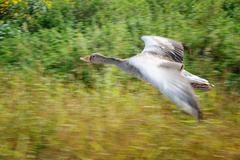 Greylag goose in panning motion during flight upon yeloow and green field Stock Photos