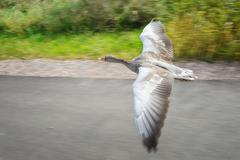 Greylag goose in fast flying speed upon road near coloful field in background - stock photo