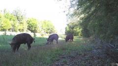 Wild Boar Hogs Arkistovideo