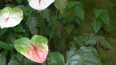 Three pink anthurium pan Stock Footage