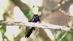 4K UHD macro shot black chinned hummingbird on branch before takeoff Stock Footage