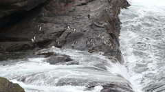 Rockhopper penguin jumps from a cliff Stock Footage