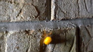 Stock Video Footage of Large orange orb spider crawling up brick wall