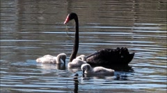 Black swan feeding cygnets. - stock footage