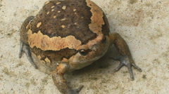 Strange puffed up bullfrog Stock Footage