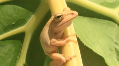 yellow frog on leaf croaking close up macro - stock footage